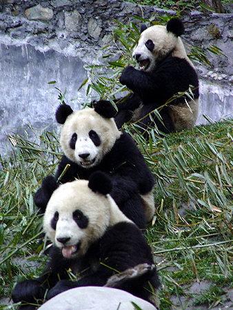 卧龙大熊猫--边吃竹子边玩耍
