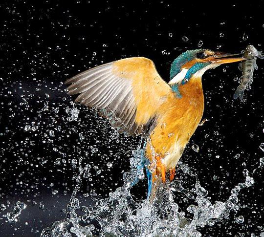 捉到鱼后,翠鸟会快速冲出水面.
